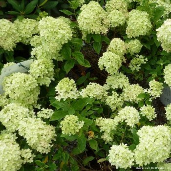 HORTENSIA paniculata LITTLE LIME