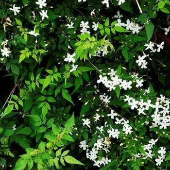 JASMIN Officinale