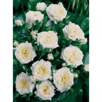 ROSIER Miniature Little White ®