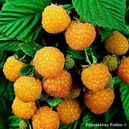 FRAMBOISIER Jaune ® - Petits fruits